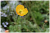 Yellow poppy flower (Alice 2018) Tags: flower poppy bokeh hongkong 2018 canon canoneos6d eos6d m42 efmount adaptor manuallens industar industar61lz50mmf28 spring green yellow aatvl01