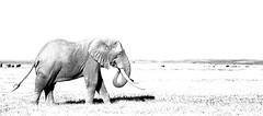 High Key Elephant (Thomas Retterath) Tags: thomasretterath nature natur safari amboseli kenya africa afrika kilimanjaro adventure wildlife abenteuer loxodontaafricana bigfive africanelephant elefant elephantidae pflanzenfresser herbivore säugetier mammals animals tiere trunk stoszähne tusks high key highkey monochrome coth5