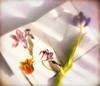 Spring has Sprung! (Sarah Fraser63) Tags: spring springflowers tulips flowers flora