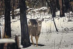 Deer in the headlights (Busquets Photography) Tags: deer wildlife animal nationalpark yosemite sony canon mamma moody winter snow