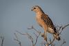 sentinel of the wetlands - red-shouldered hawk (robertskirk1) Tags: nature outdoor wildlife animal bird redshouldered hawk rich grissom memorial wetlands viera florida fl