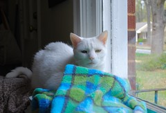 Charlie (rootcrop54) Tags: charlie white allwhite male cat window backofsofaperch oddeyed oddeyes heterochromia neko macska kedi 猫 kočka kissa γάτα köttur kucing gatto 고양이 kaķis katė katt katze katzen kot кошка mačka gatos maček kitteh chat ネコ