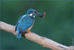 Martin pêcheur d'Europe ( Alcedo atthis ) Focus Distance : 3.98 m (Norbert Lefevre) Tags: bokeh martinpêcheur oiseau passereau poisson perchoir plumage canal nikon d610 70200mmf28