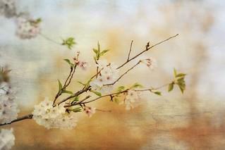 Spring cherry tree.