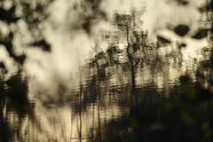 Fantômettes/ Small ghosts (Claude Duboille) Tags: fragilité fragility artisticphotography creativephotography étang pond etangdelasomme eau water formes formesdanseau hautsdefrance picardie somme claudeduboille photographer blackandwhitephotography photographienoioretblanc unlimited photos unlimitedphotos