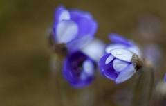 Hepatica. (agnieszka.a.morawska) Tags: dof spring helios44m helios beyondbokeh bkhq bokehlicious bokeh flower