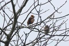 Hawfinch (coccothraustes coccothraustes) (mrm27) Tags: coccothraustescoccothraustes coccothraustes hawfinch whittington shropshire
