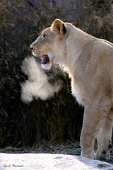 234A9998-Edit.jpg (Mark Dumont) Tags: african animals cat cincinnati dumont lion mammal mark zoo