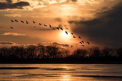 Sandhill_Cranes-45 (Beverly Houwing) Tags: nebraska sandhillcranes plattriver migration spring birds conservation cranetrust sanctuary protected flying sihouette clouds sky sunset orange glow unitedstates midwest