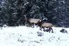 _D6I0296 Elk Bulls (BKP2010) Tags: elk bull cow calf yellowstonenationalpark wyoming fall 2017