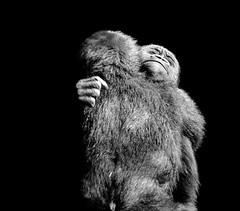 Fraternal love... =O) (Pep Peñarroya) Tags: zoo catalunya barcelona skancheli