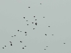 Red-billed Chough (Pyrrhocorax pyrrhocorax) 10-04-2017 (Brian Carruthers-Dublin-Eire) Tags: chough passeriformes corvidae pyrrhocorax crave à bec rouge alpenkrähe chova piquirroja gracchio corallino alpenkraai cág cosdearg pyrrhocoraxpyrrhocorax craveàbecrouge chovapiquirroja gracchiocorallino cágcosdearg bird wildlife nature animalia animal sky red billed redbilledchough aves avian portugal sagres