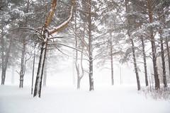 DSC_0725 (airat.valiahmetov) Tags: snow snowfall forest winter white
