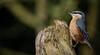 Nuthatch (Sitta europaea) (neil 36) Tags: sitta europaea nuthatch nikor 300mm bird nature wildlife
