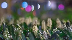 Zenit Jupiter-3 (Зенит Юпитер-3) 50m ƒ1.5 - DSCF9701 (::nicolas ferrand simonnot::) Tags: bokeh depth field dof black white manual prime lens fixed focal length russian macro zenit jupiter3 зенит юпитер3 pt1655 version manufactured ussr by zagorsky optikomechanichesky zavod 1962 | 13 blades aperture m39 ltm flower weed plant nature color yellow green red blue arbre fleur plante effet