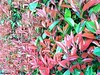 confine (archgionni) Tags: siepe hedge foglie leaves verde green rosso red natura nature confine border