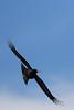 Chough in Flight (Roy Lowry) Tags: chough southstack pyrrhocoraxpyrrhocorax flightshot
