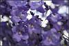 Flor de Jacaranda / Rosewood flower (Martin J. Berlusconi) Tags: flor flower jacaranda rosewood tree buenosaires