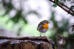 Robin Red Breast (jlc pics) Tags: robin red breast bird woodland winter nikon d7000 sigma britishbirds plumber park nottinghamshire birds