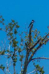 Belted Kingfisher 201800002 (slick.sue) Tags: kingfisher beltedkingfisher naples florida unitedstates us