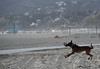 Good  Catch (remiklitsch) Tags: mansbestfriend frisbee dog beach santamonica catch action evening nikon remiklitsch