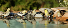 American Goldfinches (5040) (Bob Walker (NM)) Tags: bird finch goldfinch americangoldfinch spinustristis amgo setup reflection drippond rocksbywater flock standing whiterock newmexico usa