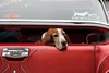 Long day at the car show (twm1340) Tags: 2018 clarkdale az car show hound dog basset