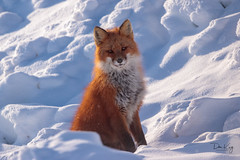 Vulpes vulpes Red Fox (Dan King Alaskan Photography) Tags: redfox fox vulpesvulpes northslope alaska tundra canon80d sigma150600mm