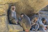 Hamadryas Baboons (The_Speedy_Butterfly) Tags: sandiego california unitedstates us monkey baboon