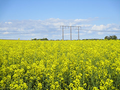 Yellow field and blue sky (DameBoudicca) Tags: sweden sverige schweden suecia suède svezia スウェーデン lund rapeseed brassicanapus rape oilseedrape rapa rappi rapaseed raps colza セイヨウアブラナ yellow gul gelb amarillo jaune giallo 黄 flower blossom blomma blüte flor fiore fleur 花 はな field fält åker feld acker campo champ 畑 spring vår frühling frühjahr primavera printemps 春 はる sky himmel cielo ciel 空