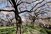 IMG_5837 (digitalbear) Tags: canon eos6d sigma 14mm f18 dg art shinjku gyoen sakura cherry blossom blooming hanami tokyo japan