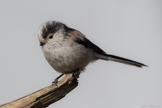 Schwanzmeise / long-tailed tit