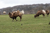 """Bactrian camels (Sheep""""R""""Us) Tags: corsley england unitedkingdom gb longleat camels"""