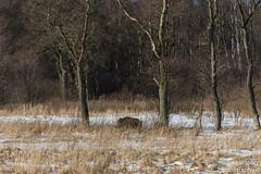 SLN_1805732 (zamon69) Tags: djur wildbore vildsvin träd gräs fält snö snow