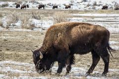 IMGP5704.jpg (PenTex) Tags: buffalo bison yellowstone winter montana snow