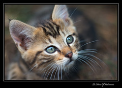 Grisou (Le Dieu of Volcanoes) Tags: chat chaton france canon animaux animal flickr google cat felin regard oeil yeux eye eyes eos70d