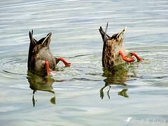 Tu trouves ? Non et toi ? Non rien ! :o) (jean-daniel david) Tags: oiseau oiseaudeau closeup canard colvert duo reflet eau lac lacdeneuchâtel réservenaturelle yverdonlesbains humour