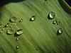 ... gocciole e foglie ... (giorgiorodano46) Tags: aprile2018 april 2018 giorgiorodano goccie foglia raindrops green verde nikon vert