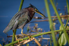 focus of the little green heron in the wetlands (robertskirk1) Tags: nature outdoor wildlife animal bird little green heron fishing hunting focusing catching fish water blue rich grissom memorial wetlands viera florida animalplanet