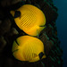 Bluecheek Butterflyfish (Chaetodon semilarvatus)