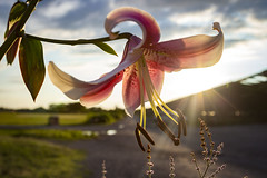 Sunset Bloom (deartheartfilms) Tags: sunset flower lily beautiful pink green blue color colorful new york jersey bloom blooming clouds sky nature foliage grass creation