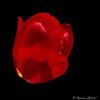 Red dream (christian.grelard) Tags: red tulipe tulip flower fleur fleurs nature spring printemps sigma sigma105mm macro ma dream flickrfriday