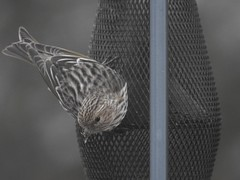 Pine Siskin (FluvannaBirder754) Tags: lakemonticello fluvanna fluvannacounty siskin pinesiskin finch feeder virginia birdwatching bird birding birder birds wildlife nature outdoor outdoors outside animal creature