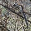 Buen provecho (ben.bourdon) Tags: costa rica américa central animal árbol comiendo comer ardilla gris marrón la cruz