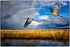 Sandhill Cranes ~ An Essay (Johnrw1491) Tags: essay sandhill cranes flight wildlife field notes nature rainbow textures art literature birds flying