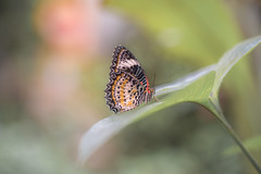 Cethosia cyane (fabriciodo2) Tags: cethosiacyane papillon macro nature tamron90 butterfly