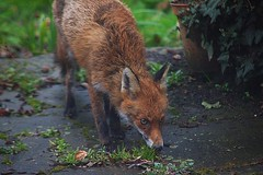 Wildlife @ NW6 (Adam Swaine) Tags: redfox fox wildlife urban animals canon gardens london england english britain british uk naturelovers nature naturewatcher spring counties cities red vulpesvulpes