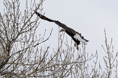 Female Bald Eagle stretches her wings - 27 of 30