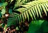 fern basking in the autumn sun (film) (mkk707) Tags: film analog wwwmeinfilmlabde leicaflexsl2 summicronr50mm 35mmfilm agfavista400 vintagelens vintagefilmcamera itsaleica germancameras blackforest schwarzwald germany nature