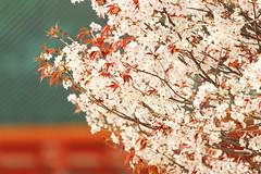 Pure spring (Teruhide Tomori) Tags: 京都 春 桜 日本 平安神宮 寺社建築 朱色 伝統 岡崎 sakura cherry kyoto japan japon heianjingushrine shrine spring flower architecture construction wooden